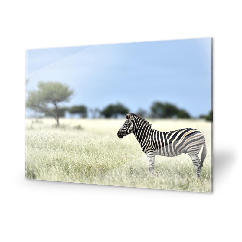 Zebra Fotografie Acrylglasbilder
