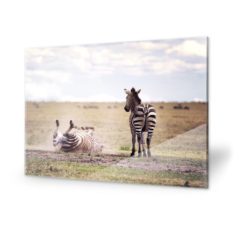 Zebras Fotografie Acrylglasbilder