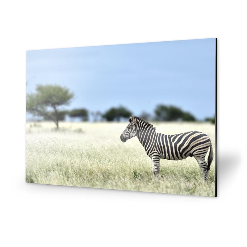 Zebra Fotografie Alu-Dibond