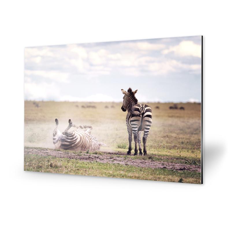 Zebras Fotografie Alu-Dibond