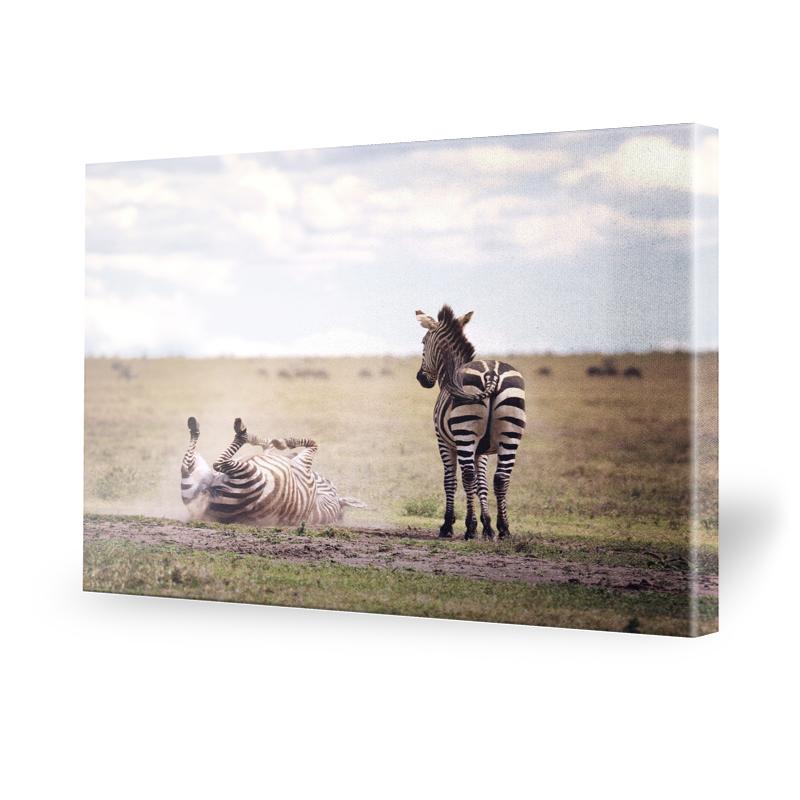Zebras Fotografie Leinwand Bild